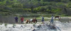 Wild (feral) ponies visit our campsite on Assateaque Island