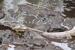 Other creatures encountered included a water moccasin and alligators
