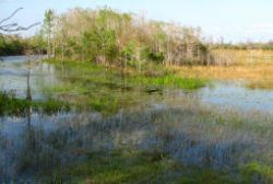 Grassy Waters Preserve was once part of the continuous Everglades wetlands, Now 20 square miles are walled off and water levels are maintained to maximize water supply for West Palm Beach and adjacent cities