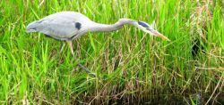 A heron hunting in the Everglades