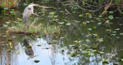reflected_heron