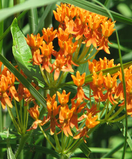 Butterfly weed at Whitehouse Nature Center