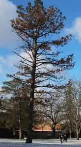 The Reynolds pine pictured late last month.