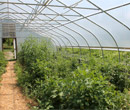 The hoop house at Albion Student Farm